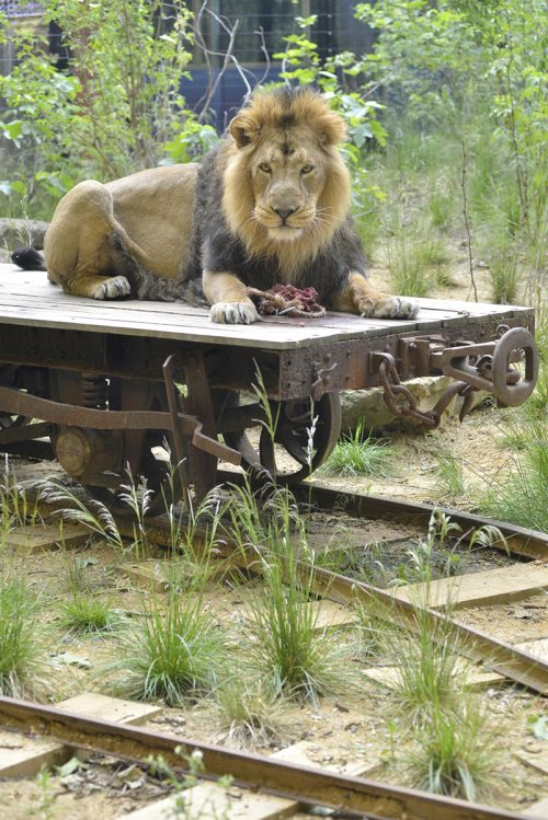 Gir Lion Lodge, Asiatic lion, Bhanu LOTI