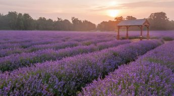 mayfield lavender farm | london on the inside